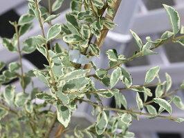 【1年間枯れ保証】【生垣樹木】シルバープリペット0.3m10.5cmポット【あす楽対応】