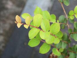【1年間枯れ保証】【夏に花が咲く木】サルスベリ0.7m10.5cmポット【あす楽対応】