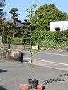 【1年間枯れ保証】【街路樹&公園樹】ソメイヨシノ 1.5m15cmポット 1本