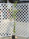 ソメイヨシノ 1.7m18cmポット 6本セット【1年間枯れ保証】【街路樹&公園