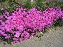 ピンク色大輪品種シバザクラ/ダニエルクッション 0.1m