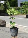 【1年間枯れ保証】【低木】マルバシャリンバイ 15cmポット 1本