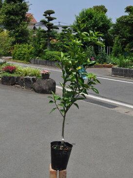 【1年間枯れ保証】【秋に収穫する果樹】スダチ 15cmポット