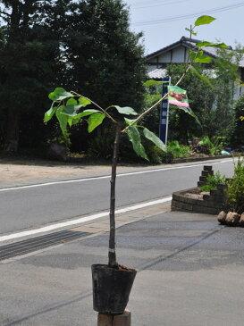 【1年間枯れ保証】【春・夏に収穫する果樹】サクランボ/アメリカンチェリー 15cmポット  3本セット 送料無料