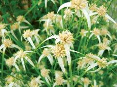 鮮やかな白い苞シラサギカヤツリ 9.0cmポット 【あす楽対応】