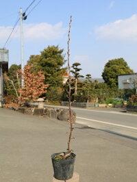 【1年間枯れ保証】【山林苗木】サンザシ0.5m12cmポット【あす楽対応】