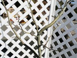【1年間枯れ保証】【山林苗木】サンザシ0.4m12cmポット【あす楽対応】