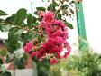 【1年間枯れ保証】【シンボルツリー落葉】サルスベリ赤花単木 1.7m露地 【あす楽対応】