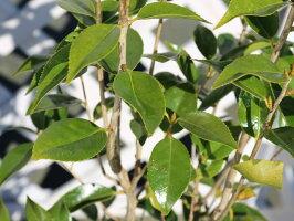 【1年間枯れ保証】【生垣樹木】ツバキ/ワビスケ0.3m【あす楽対応】