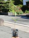 ツバキ/ヤブツバキ 0.3m10.5cmポット 1本【1年間枯れ保証】【生垣樹木】