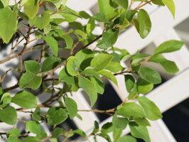 【1年間枯れ保証】【生垣樹木】トキワマンサク青葉白花0.8m15cmポット【あす楽対応】