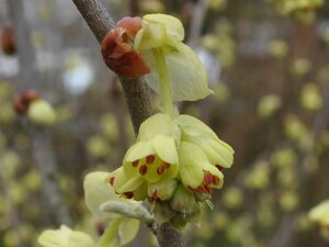 【1年間枯れ保証】【春に花が咲く木】トサミズキ 0.3m 【あす楽対応】
