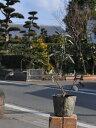 ツルハナナス(花色指定不可) 9.0cmポット 1本【1年間