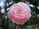 ピンクの八重咲き【6か月枯れ保証】【生垣樹木】ツバキ/オトメツバキ 0.5m 【あす楽対応】