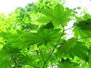【1年間枯れ保証】【葉や形を楽しむ木】テツカエデ 0.3m 【あす楽対応】