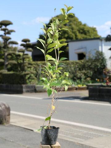 【1年間枯れ保証】【生垣樹木】ネズミモチ 0.5m10.5cmポット 【あす楽対応】