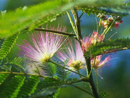 ネムノキ0.5m18cmポット1本【1年間枯れ保証】【夏に花が咲く木】