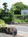 ナンキンハゼ 0.5m10.5cmポット 1本【1年間枯れ保