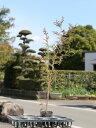 【1年間枯れ保証】【生垣樹木】ヒノキ 0.7m10.5cmポット 1本