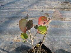 【1年間枯れ保証】【夏に花が咲く木】ハマボウ 0.1m 【あす楽対応】