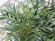 【1年間枯れ保証】【葉や形を楽しむ木】ヒイラギナンテン/マホニアコンフューサ 0.3m露地 【あす楽対応】