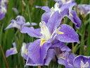 大輪の花【6か月枯れ保証】【球根】ハナショウブ 0.2m 【あす楽対応】