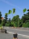 【1年間枯れ保証】【春に花が咲く木】ハナズオウ 0.5m 1本