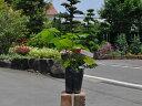 ブラックベリー 15cmポット 4本セット 送料無料【1年間枯れ保証】【葉や形を楽しむ木】