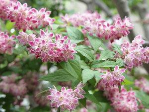 【1年間枯れ保証】【低木】ヒメウツギ赤花 0.2m12cmポット 【あす楽対応】