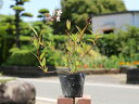 ヒメウツギ赤花 0.2m10.5cmポット 1本【1年間枯れ保証】【低木】
