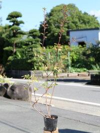 バイカツツジ0.6m10.5cmポット1本【1年間枯れ保証】【低木】