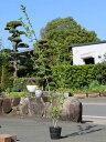 ムクゲ 1.5m15cmポット 5本セット【1年間枯れ保証】【夏に花が咲く木】