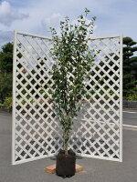 【6か月枯れ保証】【夏に花が咲く木】ムクゲ1.7m【あす楽対応】
