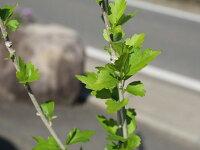 【6か月枯れ保証】【シンボルツリー落葉】ムクゲ2.5m【あす楽対応】
