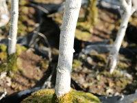 【1年間枯れ保証】【シンボルツリー落葉】ムクゲ2.5m【あす楽対応】