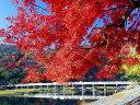 紅葉の代名詞【1年間枯れ保証】【紅葉が美しい木】イロハモミジ 1.0m 【あす楽対応】