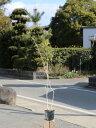 コムラサキシキブ 0.7m10.5cmポット 1本【1年間枯れ保証】【葉や形を楽しむ木】