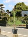 【1年間枯れ保証】【山林苗木】アカマツ 0.2m10.5cmポット 1本