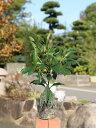 【1年間枯れ保証】【縁起木】マンリョウ 0.2m10.5cmポット 1本