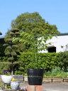 コマユミ 0.4m15cmポット 1本【1年間枯れ保証】【葉や形を楽しむ木】