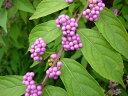 紫色の実【6か月枯れ保証】【葉や形を楽しむ木】コムラサキシキブ 0.2m 【あす楽対応】