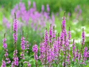 赤紫色の花ミソハギ 10.5cmポット 【あす楽対応】