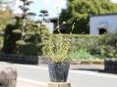 【1年間枯れ保証】【春に花が咲く木】ユキヤナギ 0.2m10.5cmポット 1本