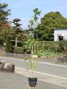 ヤマモモ 1.2m15cmポット 10本セット【1年間枯れ保証】【街路樹&公園樹】