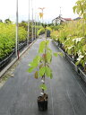 常緑ヤマボウシ/月光 0.3m9.0cmポット 1本【1年間枯れ保証】【春に花が咲く木】