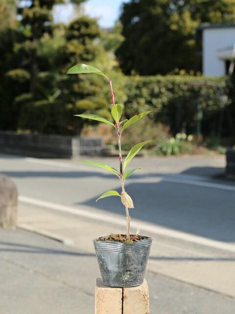 レッドロビン 0.3m10.5cmポット 1本【1年間枯れ保証】【生垣樹木】
