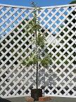 【1年間枯れ保証】【シンボルツリー常緑】レッドロビン 1.7m露地 2本セット 送料無料