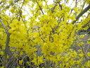 【1年間枯れ保証】【春に花が咲く木】レンギョウ 0.2m10.5cmポット 【あす楽対応】