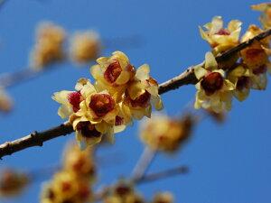 【1年間枯れ保証】【秋冬に花が咲く木】ロウバイ 0.4m 15cmポット 【あす楽対応】