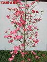 アップルブロッサム [一番売れてるハナミズキ]樹高2.0m前後(根鉢含まず)